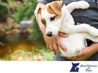 ¿Cómo saber si mi perro tiene lombrices? LA MEJOR CLÍNICA VETERINARIA DE MÉXICO. Cuando un perro tiene una cantidad considerable de lombrices en su sistema digestivo, dichas lombrices son capaces de generar una gran cantidad de gases en estómago e intestinos.  Si tu perro arrastra el trasero por el suelo de forma habitual o si encontramos pequeños gusanos en sus heces, sabremos que tiene parásitos, es importante establecer un programa preventivo de desparasitación.  #veterinaria
