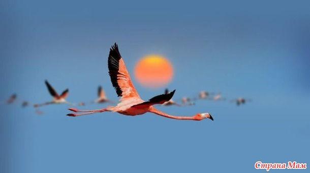 Розовые фламинго - удивительно грациозная птица, которая вызывает восхищение и не раз вдохновляла художников и поэтов на создание картин, стихов и песен.