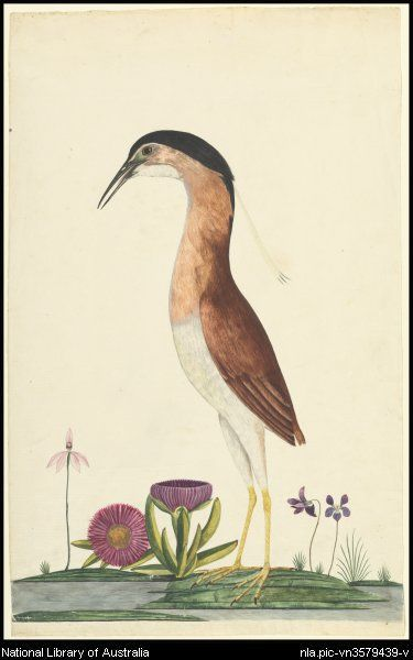 George Raper - Nankeen night heron (Nycticorax caledonicus), 1788 // National Library of Australia