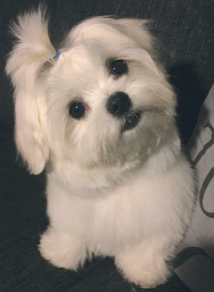 Cute Head Tilt Maltese Puppy Cute Dogs Dog Grooming