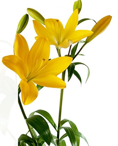 Liliesinatube offers farm fresh Lilies flowers delivery at just $47 in Australia.