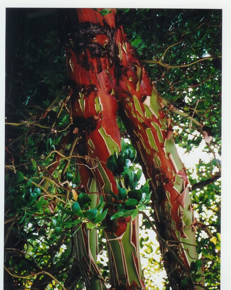 Arbutus tree - Salt Spring Island, BC. Photo by Judy Butler