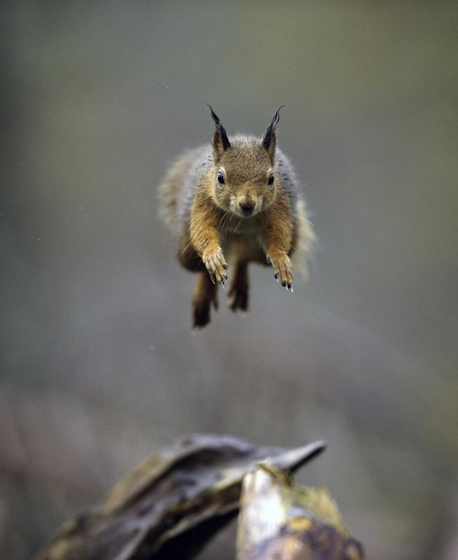 red jump fly squirrel - photo #26