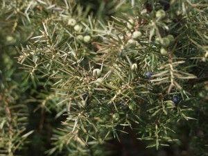 Juniperus communis, kotikataja