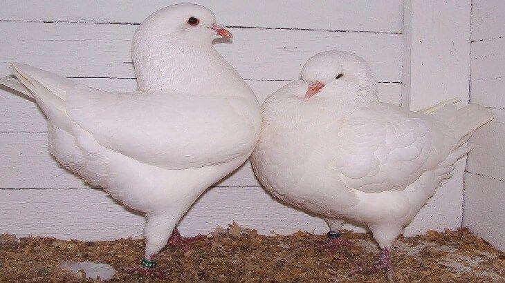 تفسير رؤية الحمام في الحلم Pigeon Breeds Pigeon Pictures King Pigeon