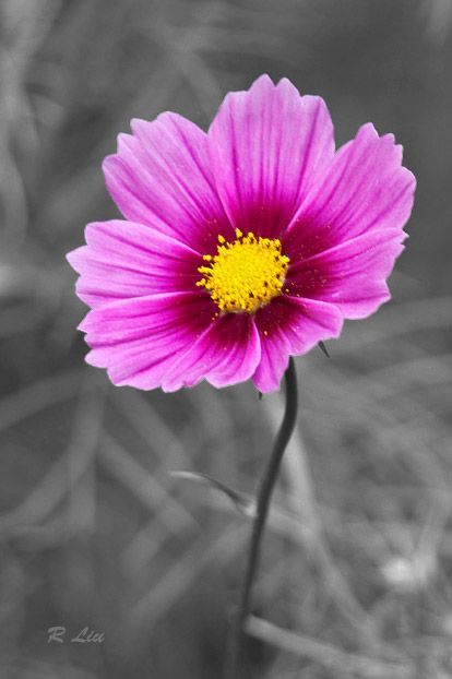 Pink flower, black and white splash of colors. Photo taken and made by Audrey Liu.