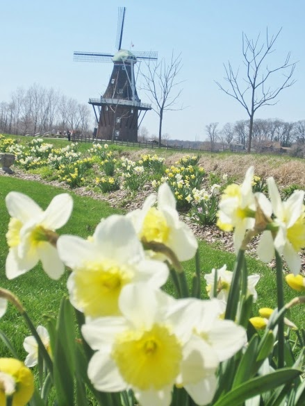 Path of daffodils to a windmill on Windmill Island in Holland, Michigan.