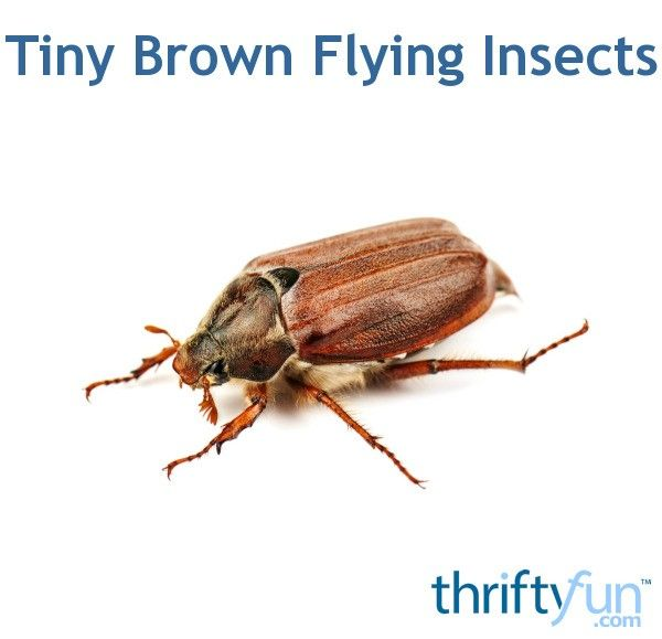 Are you having trouble with tiny brown flying insects? This guide has tips for identifying and getting rid of flying insects.