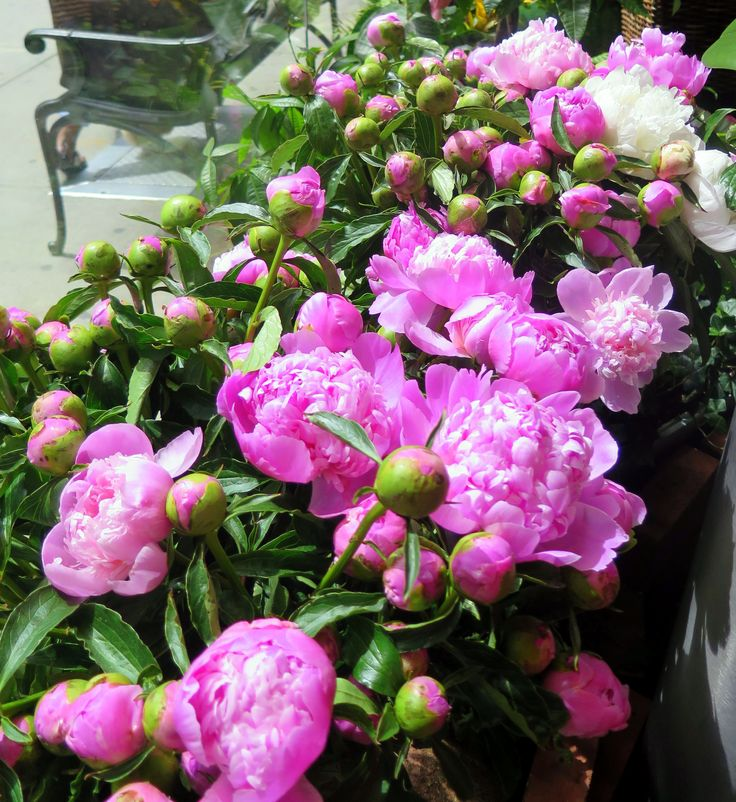 Bright, radiant peonies in the window of our store!