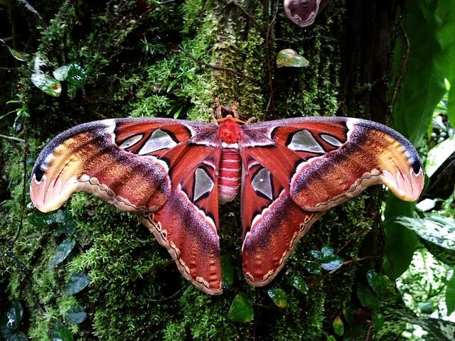 Worlds largest moth - Atlas Moth (Attacus atlas) by GC G@n, via Flickr