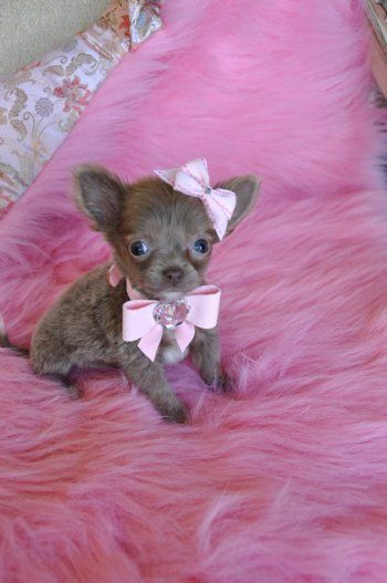 Teacup Chihuahua | Micro Teacup Chihuahua Puppy WOW Adorable Light Chocolate Princess 14 ...