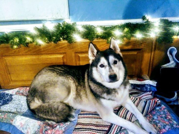 Adopt Bella on Siberian husky dog, Siberian husky rescue