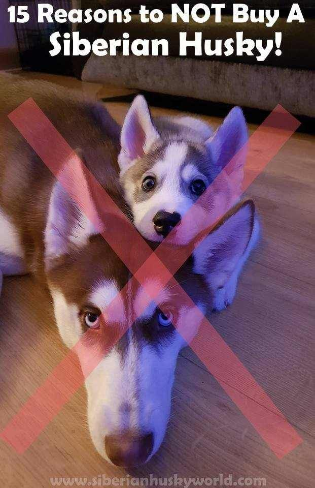 15 Reasons To Not Buy A Siberian Husky With Images Siberian
