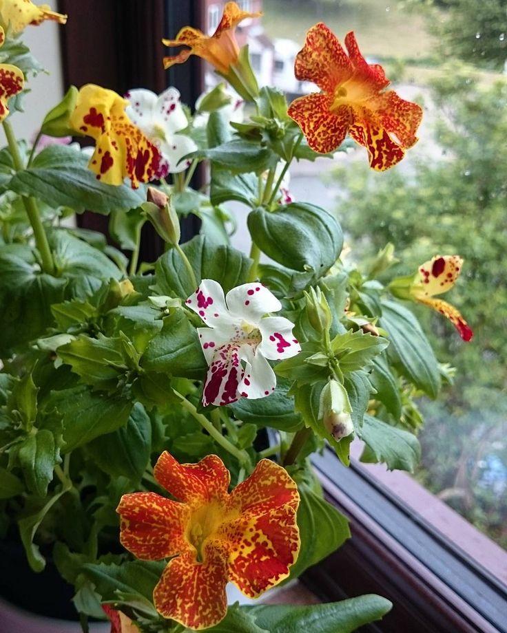 Taki ten mój maj w kratkę... Wczoraj momentami były 23 stopnie! Dzisiaj kropi (deszczem trudno to nazwać), ale i wieje!  Podobno te opady deszczu są bardzo potrzebne, bo w regionie było stanowczo za sucho (sic!), a Anglia ponoć deszczem stoi ���� #rain#drop#rainyday#deszcz#wind#windy#England#window#okno#kwiaty#nature#flowers#flowerstagram#flowerslovers#instaflower#tv_stilllife#stilllife#still_life_gallery#stilllifephotography #instagood#Xperia#wiosna#spring#instagram…