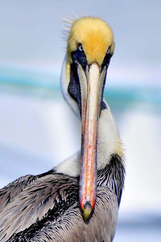 Beautiful Key West Pelican