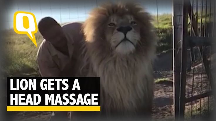 The Quint:  Lion In South African Reserve Begins The Day With A Head Mas...