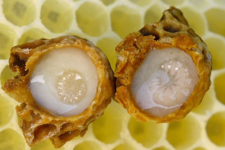 Royal jelly is a honey bee secretion that is used in the nutrition of larvae, as well as adult queens.[1] It is secreted from the glands in the hypopharynx of worker bees, and fed to all larvae in the colony, regardless of sex or caste.[2]