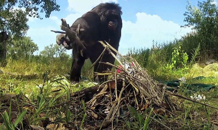 Kanzi, un chimpancé pigmeo que hace fuego y se cocina unos malvaviscos (como cualquier campista)