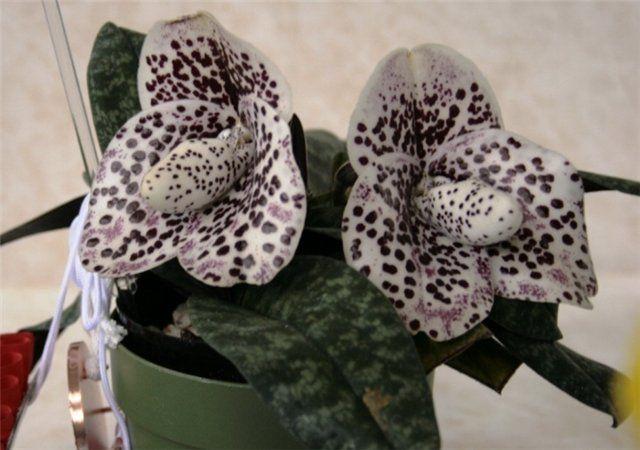 """Paphiopedilum bellatulum. Ela vem de Mianmar e Tailândia, de altitudes entre  1000 - 1500 m. Puramente terrestre, é uma  pequena planta com folhas variadas, o verde azul-escuro superior com numerosas manchas pálidas. As flores são brancas ou ligeiramente cremosas, salpicadas de manchas de vinho tinto. Há três espécies de Paphiopedilum bellatulum : """"album"""" (não há pontos roxos nas flores), """"rosea"""" (com manchas cor de rosa) e """"fusion vermelho"""" (com manchas roxas)."""