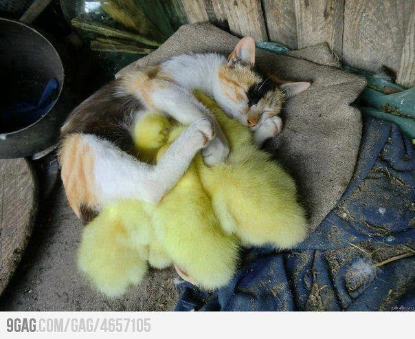 Cat sleeping with her little ducks