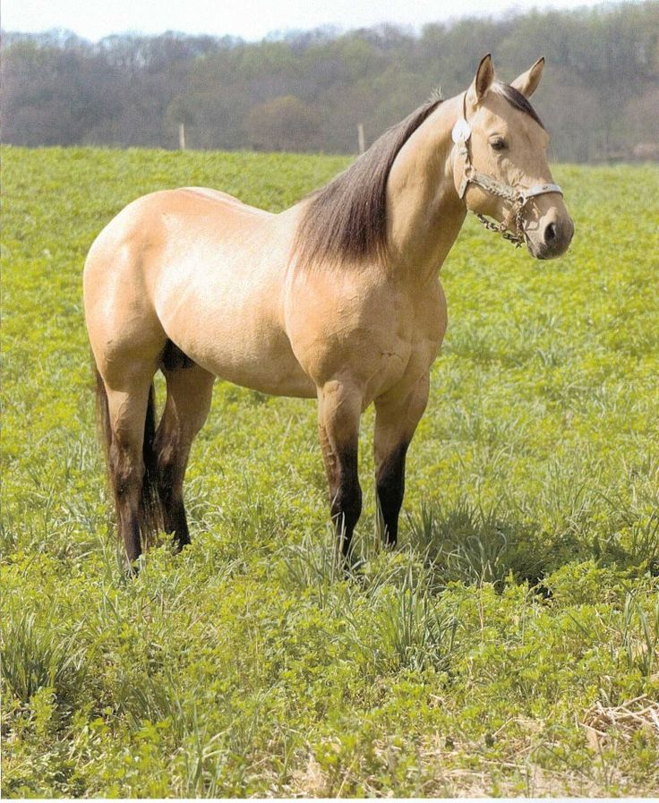 quarter horse buckskin - photo #10