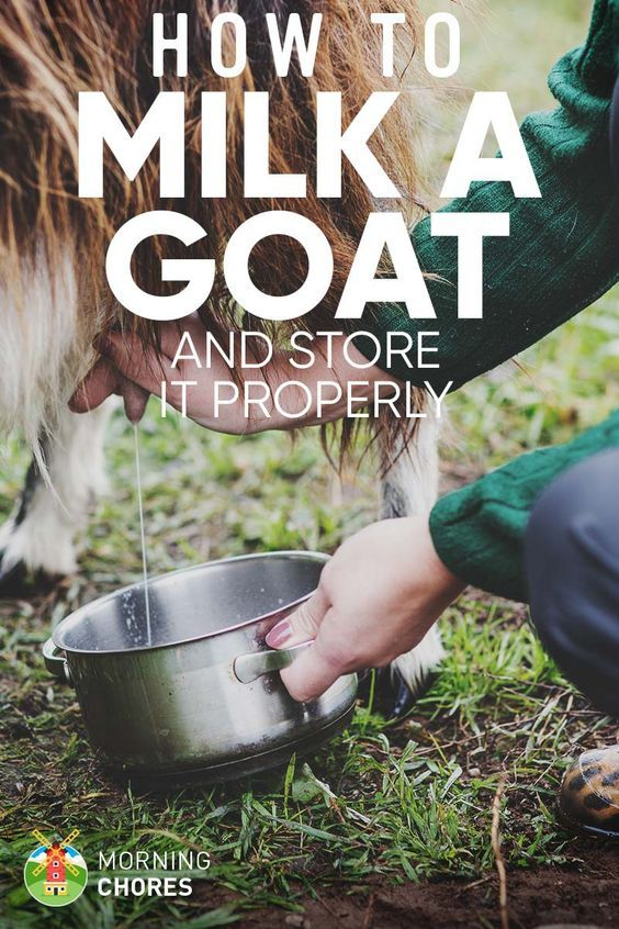 How to Milk a Goat in 10 Easy Steps