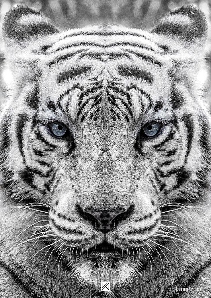 Billede af Hvid tiger plakat - Panthera tigris tigris
