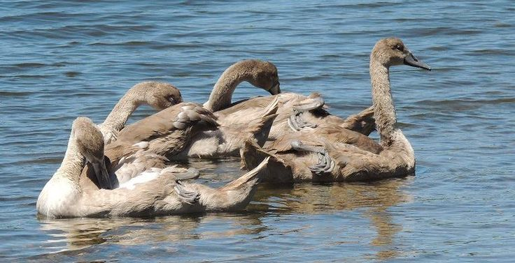 What Is A Group Of Swans Called 35