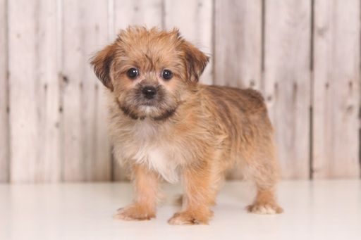 Shorkie Tzu puppy for sale in MOUNT VERNON, OH. ADN-38831 on PuppyFinder.com Gender: Female. Age: 8 Weeks Old
