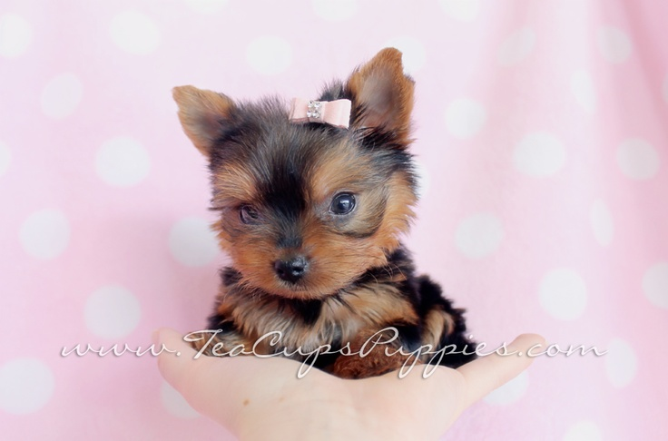 Little Teacup Yorkie