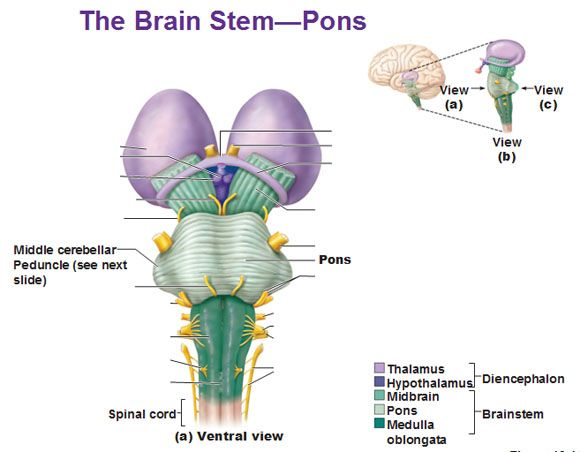 74 best anatomy images on pinterest central nervous system the brain stem pons ventral view middle cerebellar peduncle ccuart Gallery