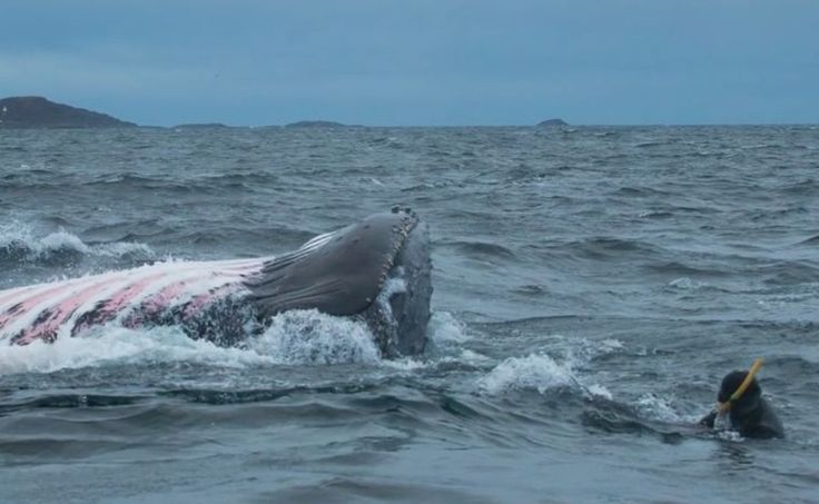 Humpback whale almost swallows diver in Norwegian Sea; video   Read more at http://www.grindtv.com/wildlife/humpback-whale-almost-swallows-diver-in-norwegian-sea-video/#ydlorf3rcC6pGKjP.99