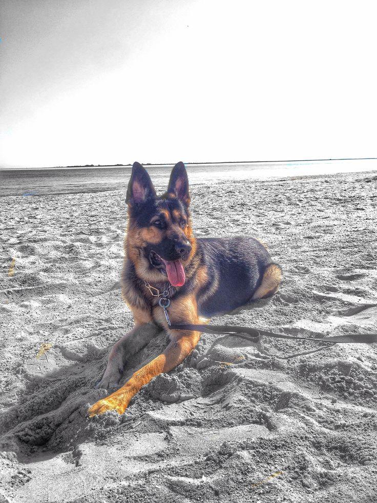 Life on the jersey shore. German shepherd, German