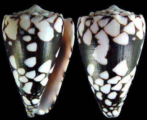 Conus (Conus) bandanus equestris (f)  (Röding, P.F., 1798)   Shell size 45 - 60 mm   Moluccas