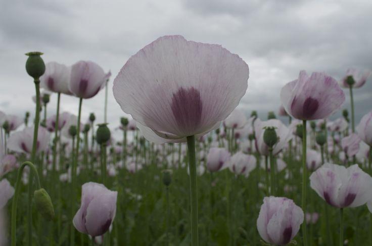 Lilac Poppy Field