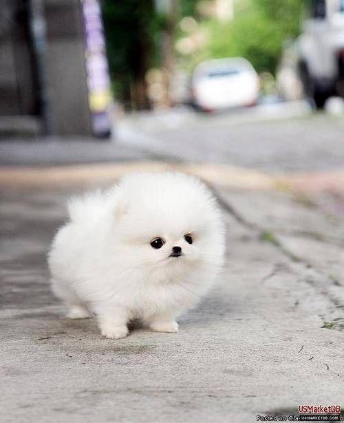 It's a white Pomeranian puppy!!!