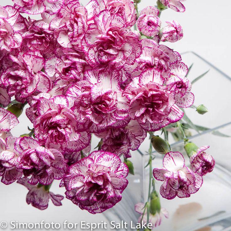 """""""Spectro"""" lavender white bi-color mini carnation"""