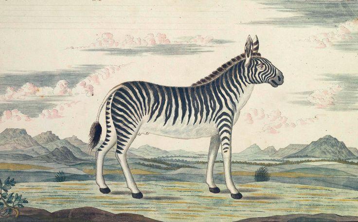 Zebra, taken from the 'Gordon Atlas' - illustrations by Dutch explorer Robert Jacob Gordon of Cape region, Africa