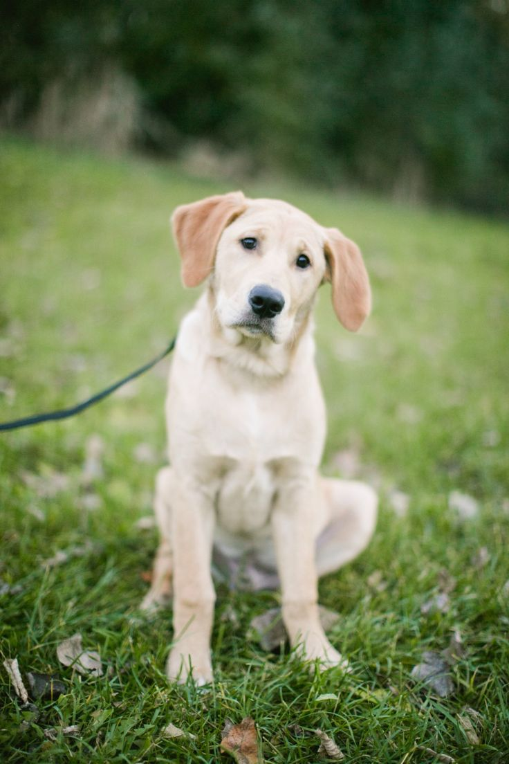 17 Best images about GOLDADORS! on Pinterest  Service dogs, Puppys and Labrador retriever