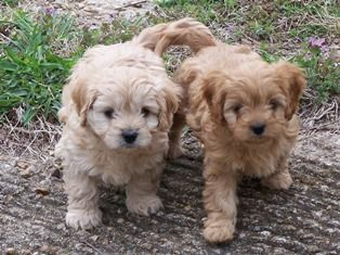 Cavapoo Puppies!!! This is a MUST have for me. I will get one soon. They are just so precious!