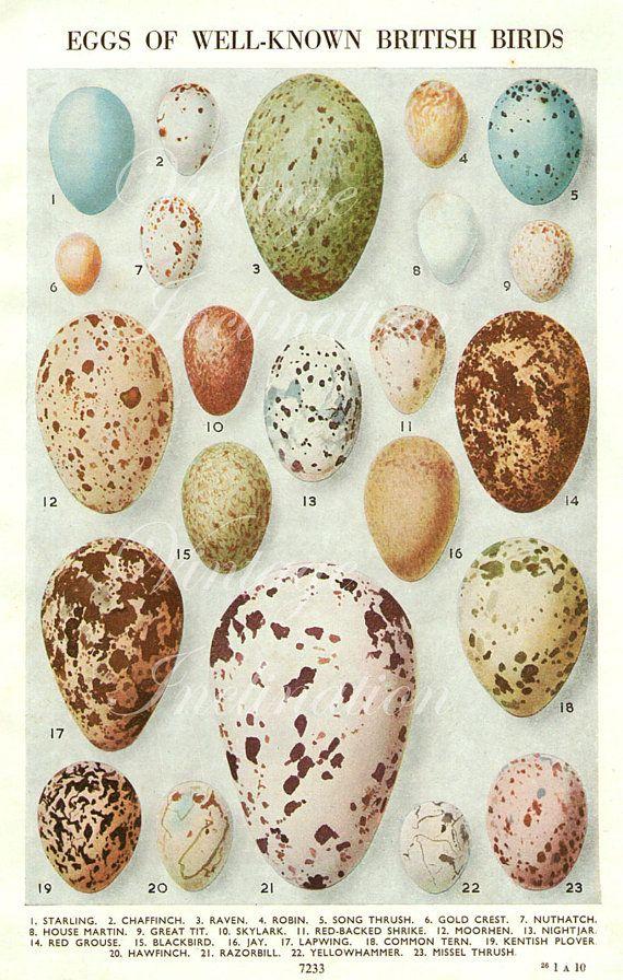 Vintage Bird Egg Print - 1950
