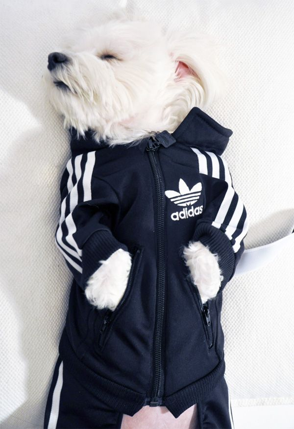 This is so cute it kills me! Luxirare's Rocky DIY Adidas dog track suit (doctored from a kid's Adidas track suit)