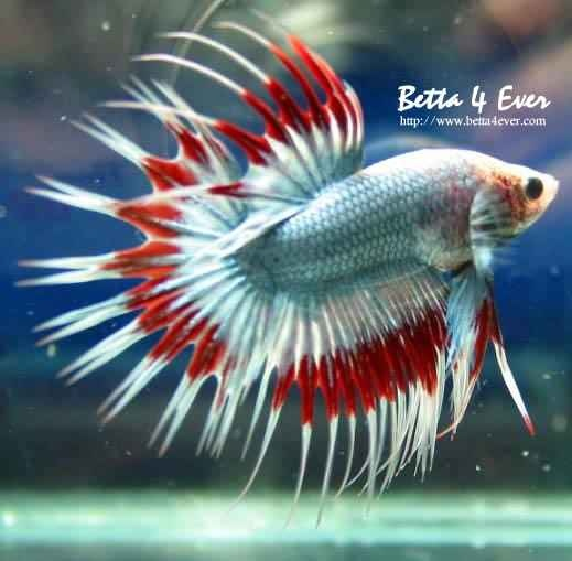 White & red crowntail betta