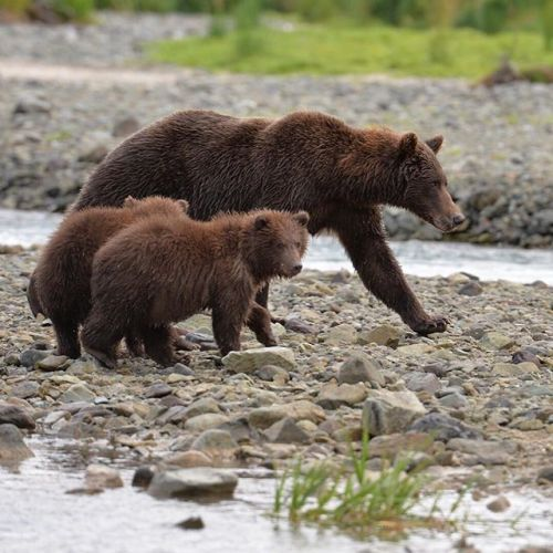Join an exclusive Alaska brown bear and wildlife photo tour to Coastal Katmai National Park where brown bear sows teach their cubs to fish and forage for food. Visit one of the wildest most remote places left on the planet. Book now for 2018Remember forever. Link in bio at @adventurekodiak    #sp #ad #phototours #photoworkshops #travel #adventure #alaska #wildlife #brownbears #coastalkatmainationalpark via Outdoor Photographer on Instagram - #photographer #photography #photo #instapic…