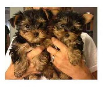 Cute and Adorable Tea Cup Yorkie Puppies For ACute and Adorable Tea cup Yorkie puppies to give them out for adoption .my cute Pure breed Tea cup Yorkie puppies are ready to go out to a good and caring home. Top quality in all well trained. Loving, healthy and playful. Beautiful, great coat. Brought into our home
