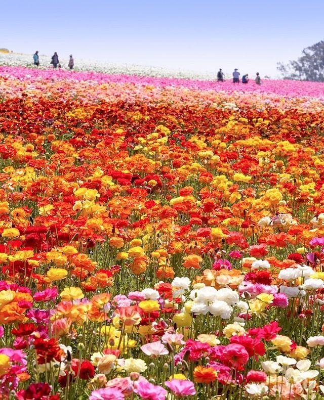 Spring Farewellfittingrooms Lyonandpost Flowerfields Carlsbad Flower Fields Flower Field Ranunculus Flowers