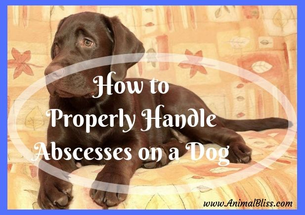 How To Properly Handle Abscesses On A Dog Dog Care Dog Books Dog Blog