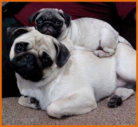pug g game 34 best pugs images on pinterest pug dogs pug puppies 1773