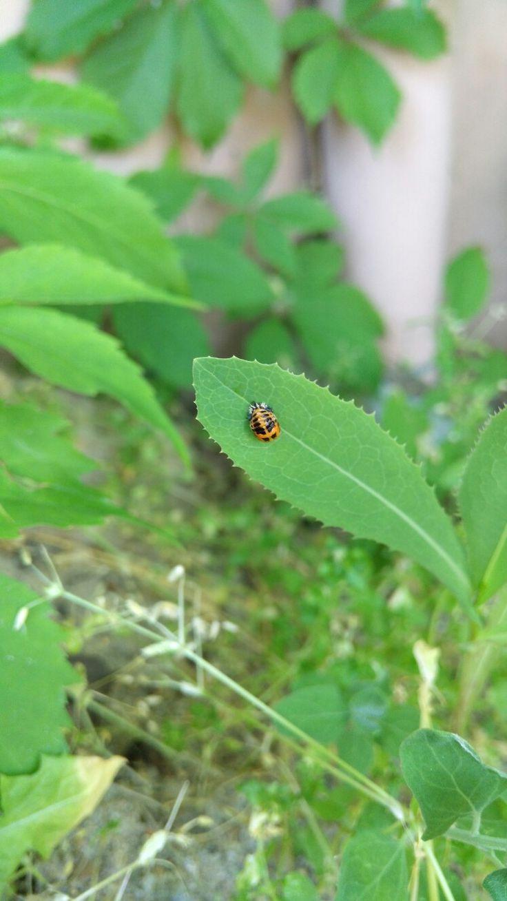 Larva slunéčka sedmitečného Coccinella septempunctata Zahrada
