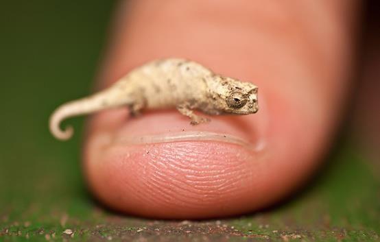 tiny chameleon♡Pinned from huffingtonpost.com